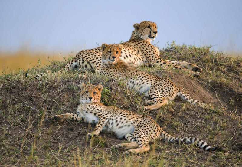 Trzy geparda w sawannie Kenja Tanzania africa Park Narodowy kmieć Maasai Mara obrazy royalty free