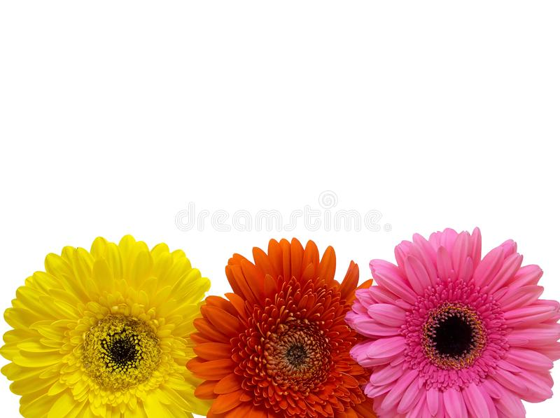Trzy Gerber stokrotki kwiatu odizolowywającego na białym tle, odbitkowy zdrój zdjęcia royalty free
