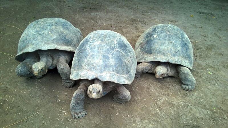 Trzy gigantycznego żółwia zdjęcia stock