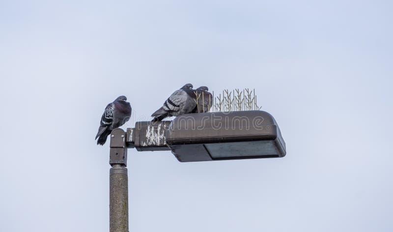 Trzy gołębia Na Streetlamp obraz royalty free