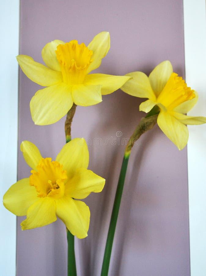 Trzy jaskrawego żółtego daffodils z zielonymi trzonami zdjęcie royalty free