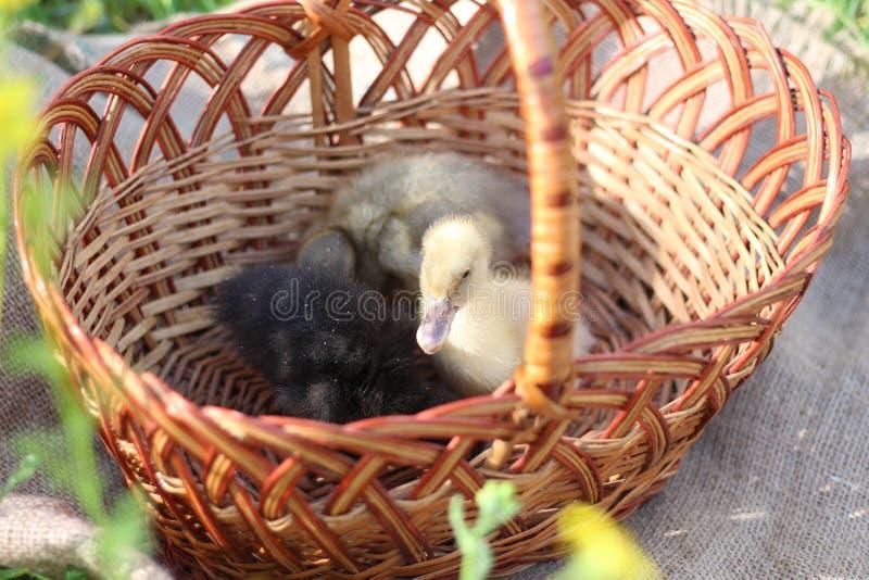 Trzy kacz?tka w koszu fotografia royalty free