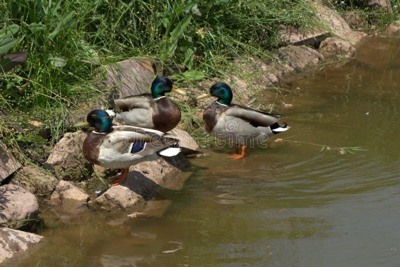 Trzy kaczek męski mallard, Pospolita kaczka, Anas platyrhynchos dostaje wpólnie na niektóre wielkich skałach i cieszy się niektór obrazy stock