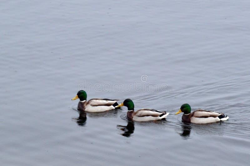 Trzy kaczki unoszą się rzekę zdjęcie royalty free