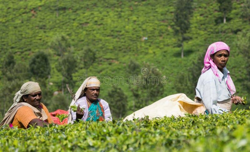 Trzy kobieta wyboru herbacianego liścia zdjęcia stock