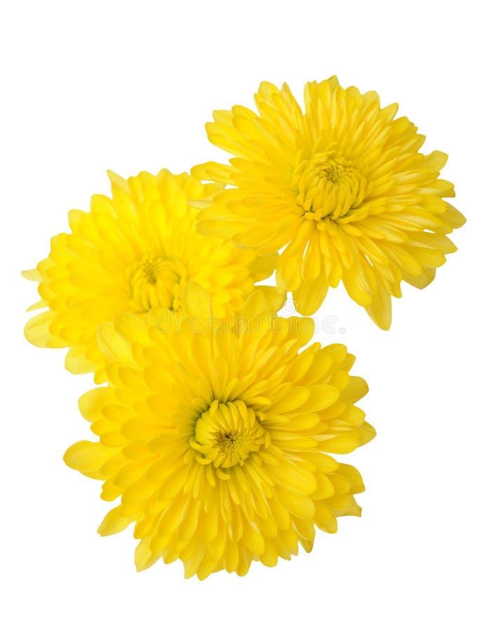 Trzy kolor żółty stokrotka zdjęcie stock