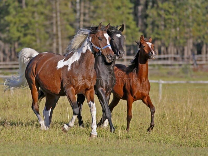 Trzy koni biegać zdjęcie royalty free