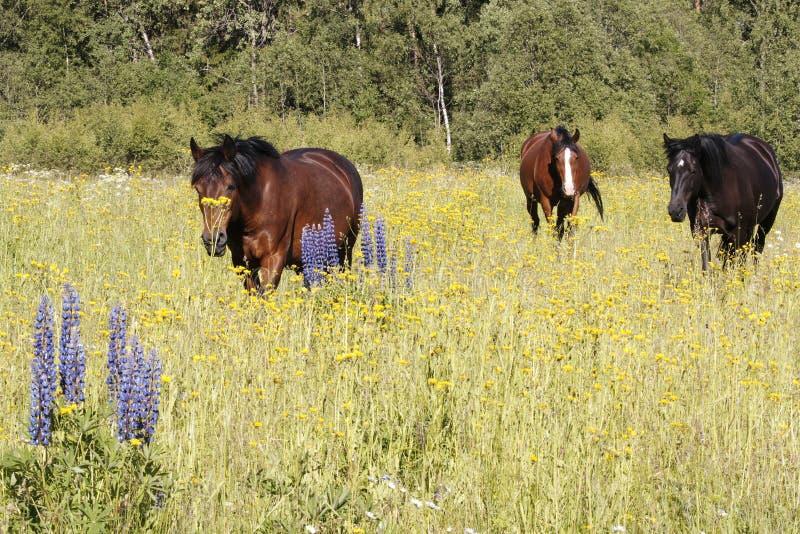 Trzy konia w łące z ogrodowym łubinem w przedpolu fotografia royalty free