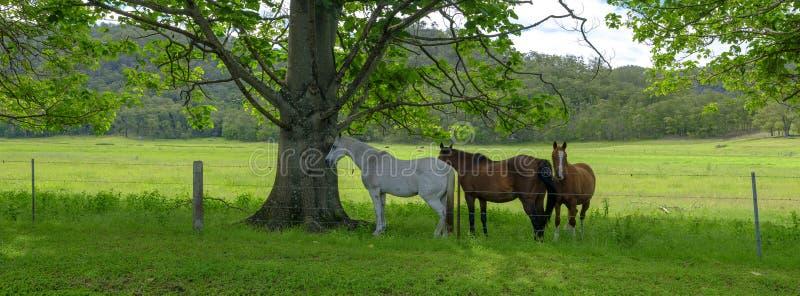 Trzy konia w cieniu w polu na Wielkiej Północnej drodze między Wiseman promem i Bucketty, Yengo park narodowy, NSW, zdjęcia stock