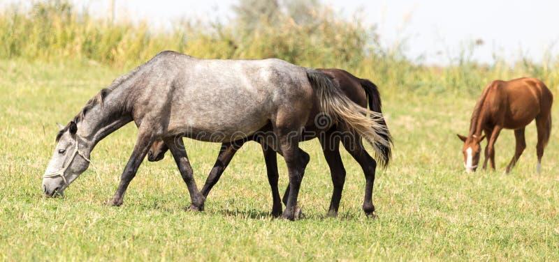 Trzy konia w paśniku w naturze zdjęcia stock