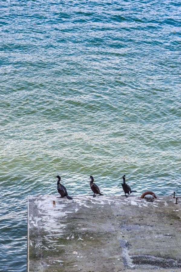 Trzy kormoranu, Phalacrocorax sp, odpoczywa na betonowym poparciu, Węglowy schronienie, Vancouver, kolumbia brytyjska obraz royalty free