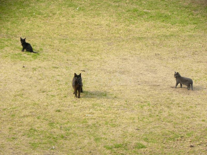 Trzy kota chodzi na trawie fotografia stock