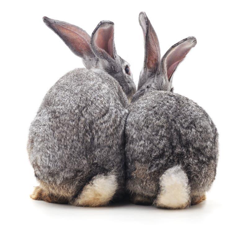 Trzy królików plecy zdjęcia royalty free