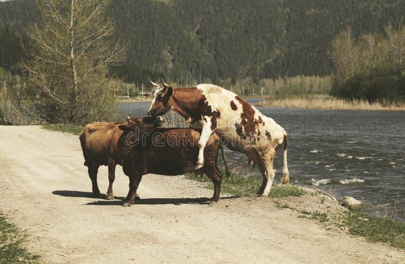 Trzy krowy blisko rzeki zdjęcie stock