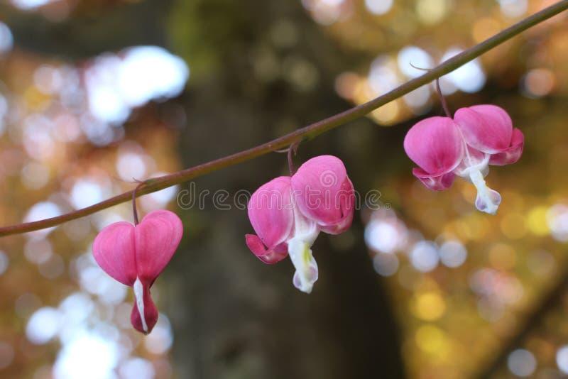 Trzy krwawiącego serca kwiatów kwitnąć obrazy royalty free