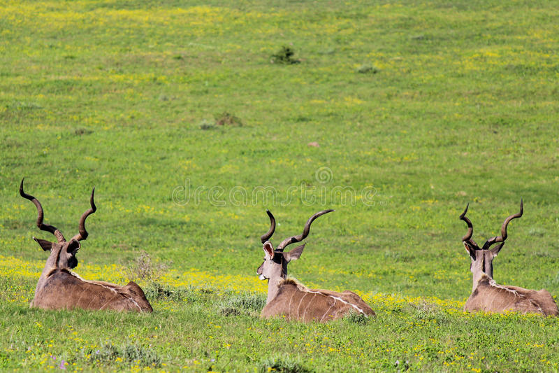Trzy kudu odpoczywa w polu Addo słonia park narodowy, Południowa Afryka zdjęcia stock
