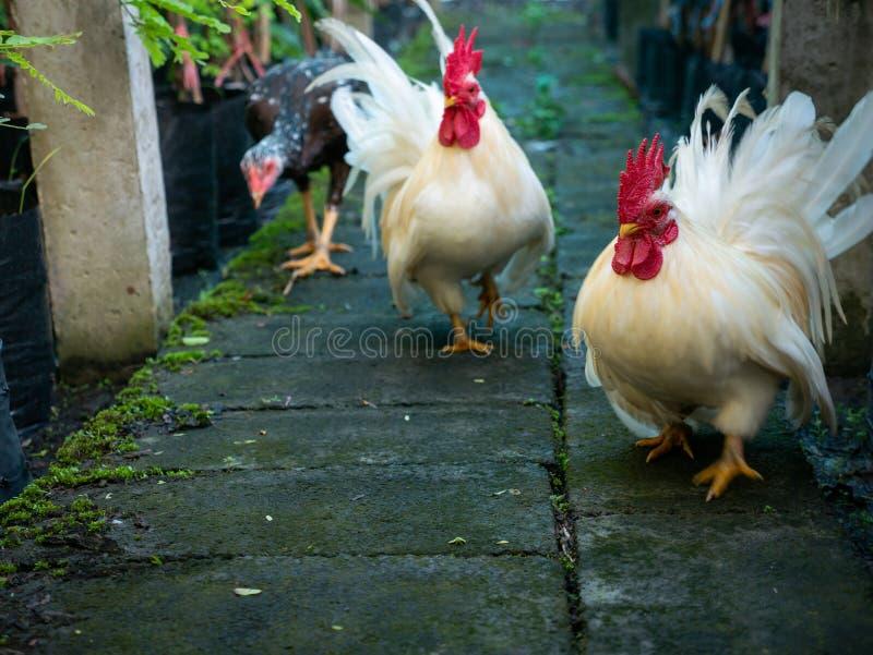 Trzy kurczaków Chodzić obrazy stock