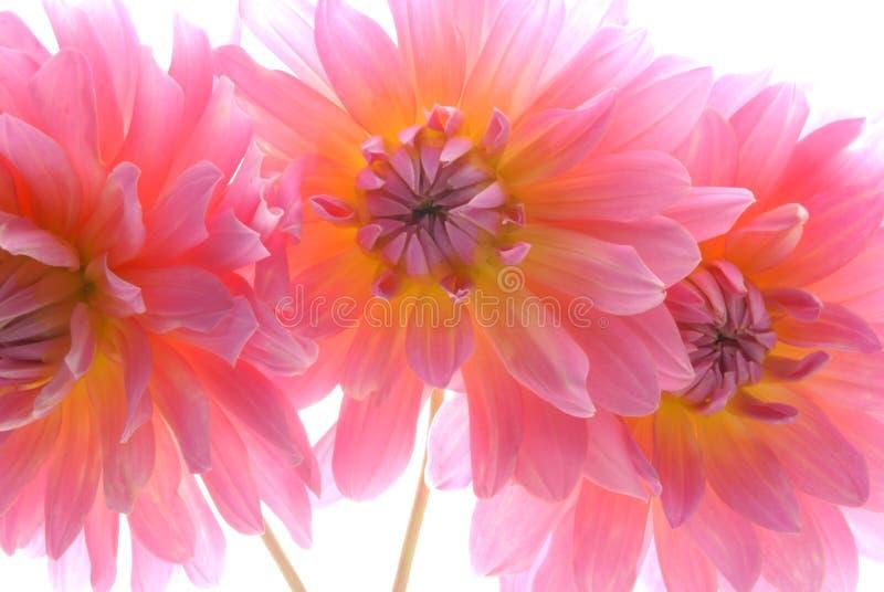 trzy kwiaty zdjęcie royalty free