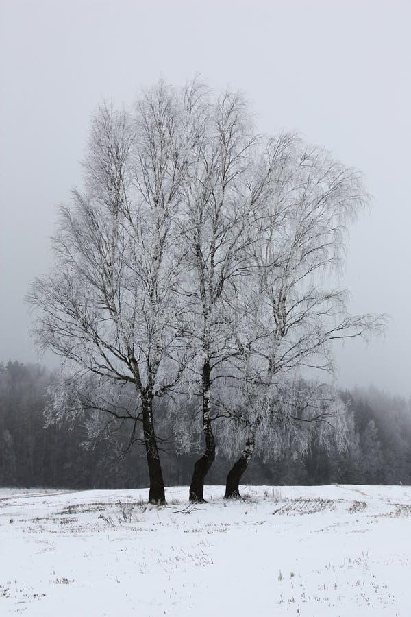 Trzy lasu i brzozy obrazy stock
