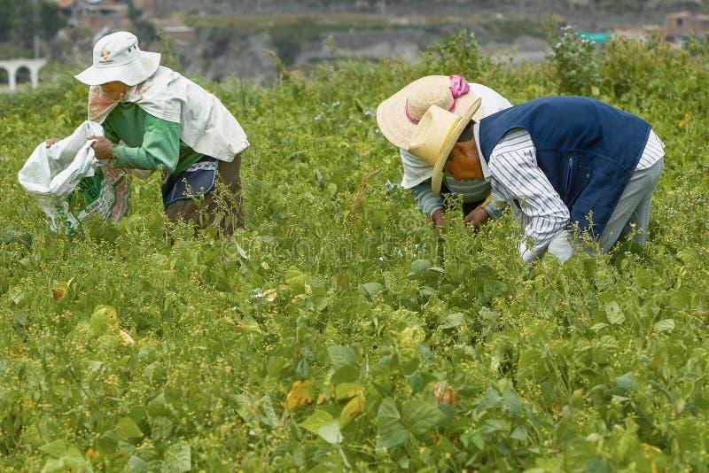 Trzy ludzie Pracuje na polu w Arequipa Peru zdjęcie royalty free