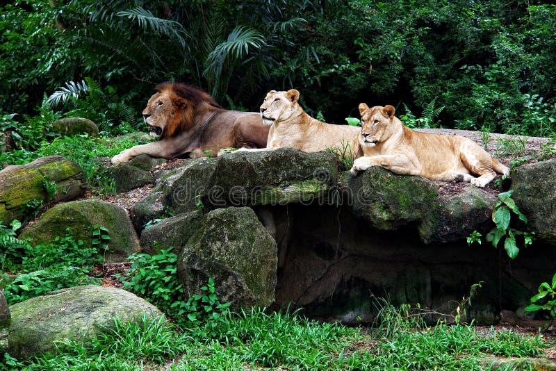 Trzy lwa kłama na skale obrazy stock