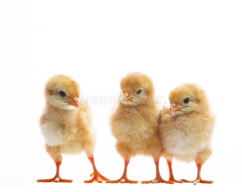 Trzy małego żółtego dzieciaka pisklęca pozycja na białych tło wi fotografia stock