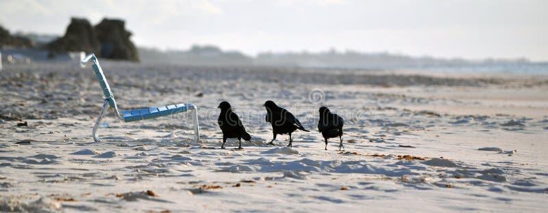 Trzy Małego Czarnego ptaka zdjęcie royalty free