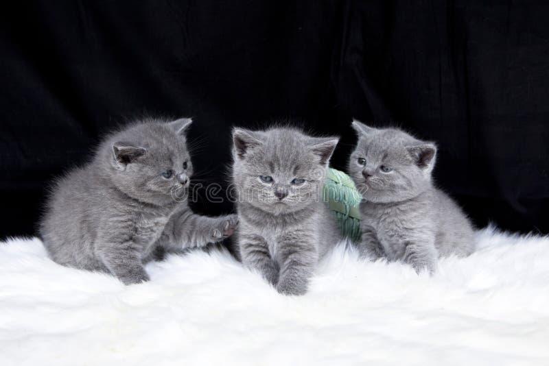 Trzy małego kota obraz royalty free