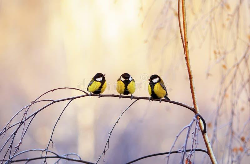 Trzy małego ptasiego Tits siedzi na brzozie rozgałęziają się w Pogodnym parku na zima ranku zdjęcia stock