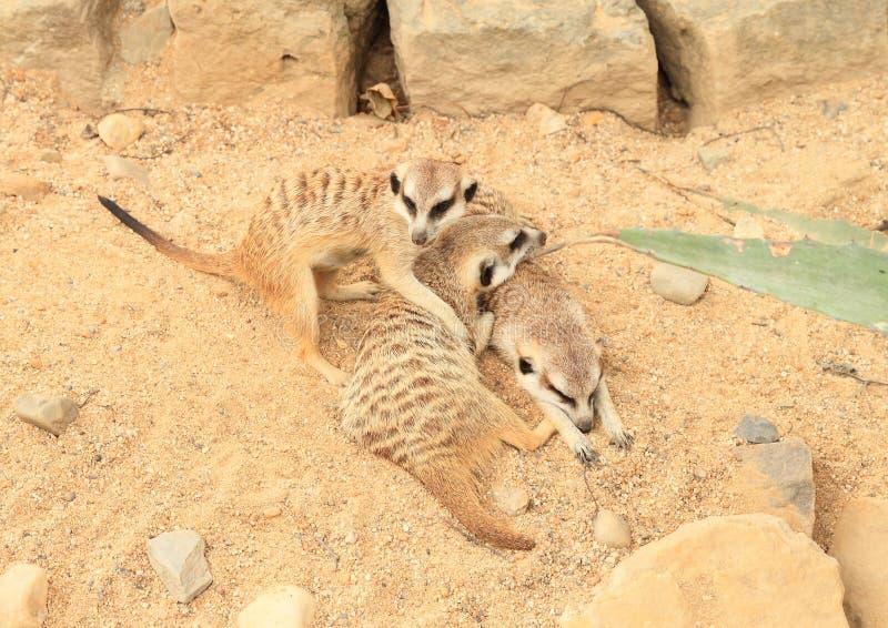 Trzy meerkats kłama na piasku fotografia royalty free