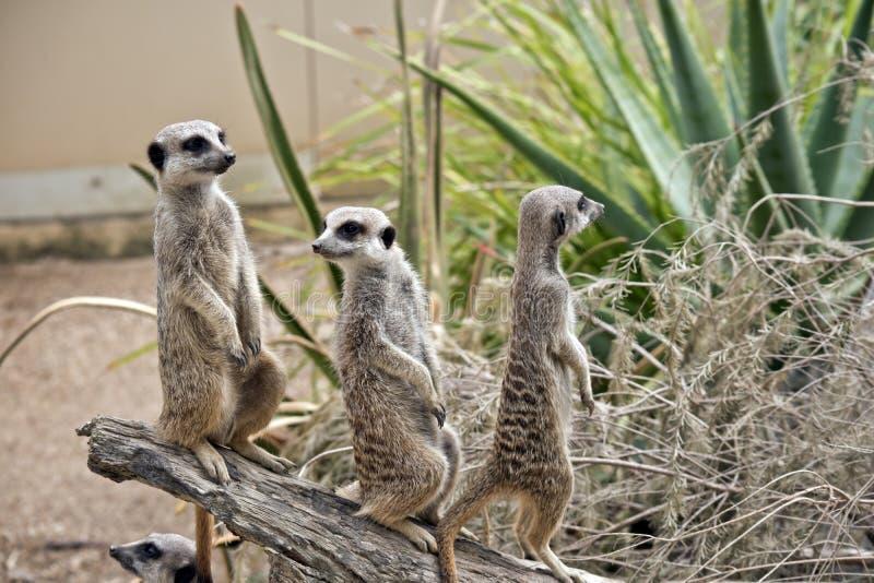 Trzy meerkats stać zdjęcie stock