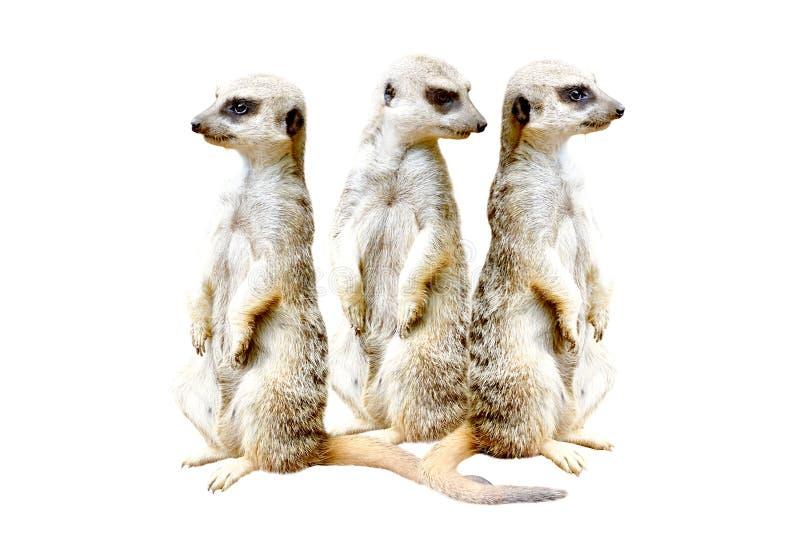 Trzy meerkats stoi wpólnie fotografia royalty free