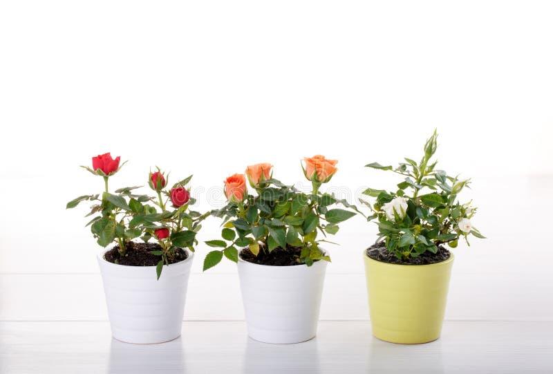 Trzy miniatur róży roślina zdjęcie royalty free