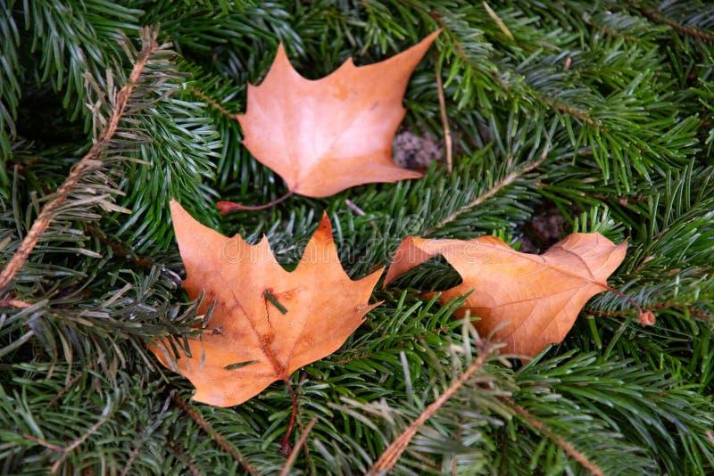 Trzy mokrego liścia klonowy drzewo wśród zielonych jedlinowych gałąź obrazy stock