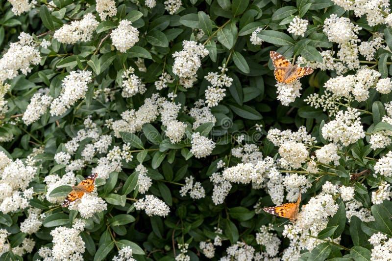 Trzy motyla na krzaku z białymi kwiatami Lato zdjęcia royalty free