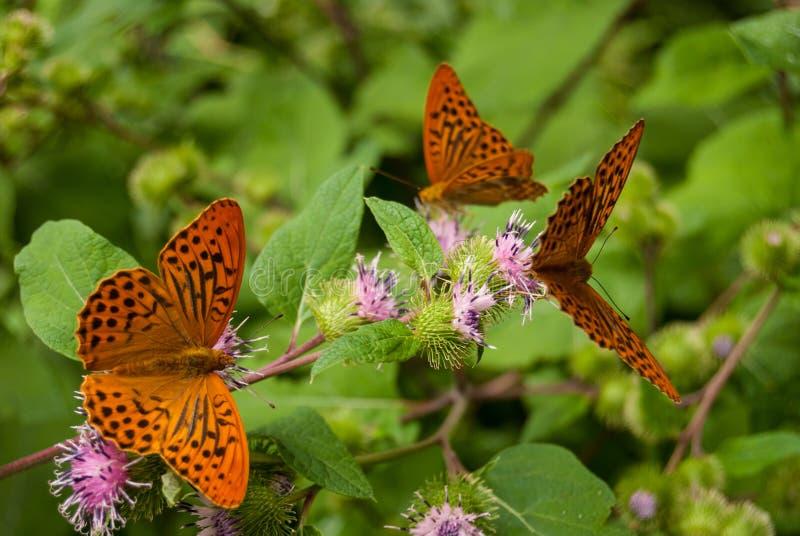 Trzy motyla na kwiatach fotografia stock