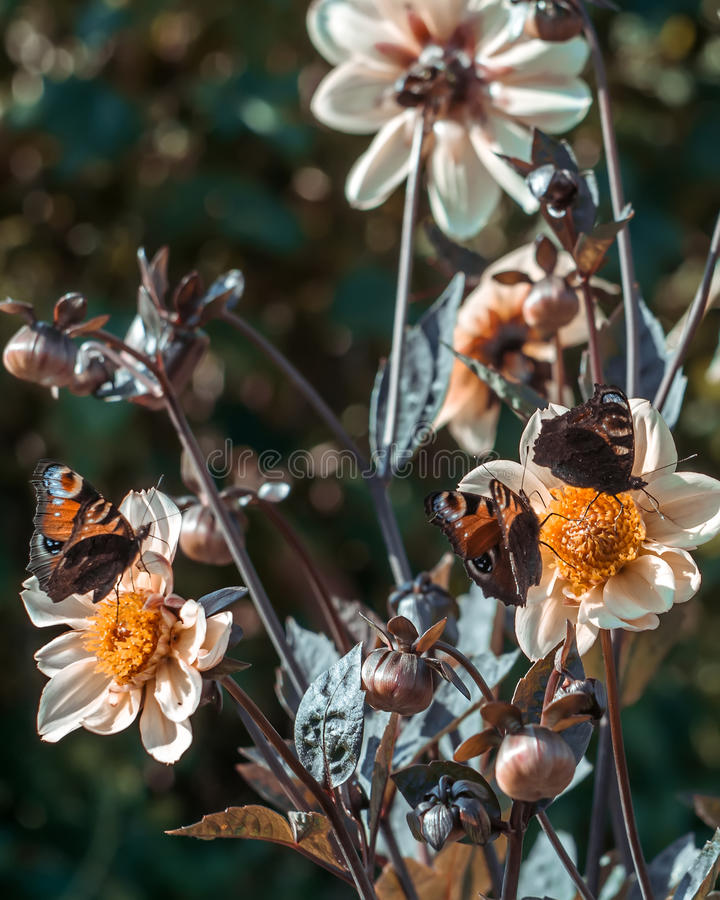 Trzy motyla na kwiatach zdjęcia stock