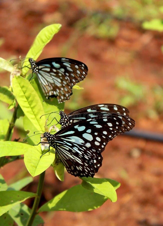 Trzy motyla na roślinie obrazy stock