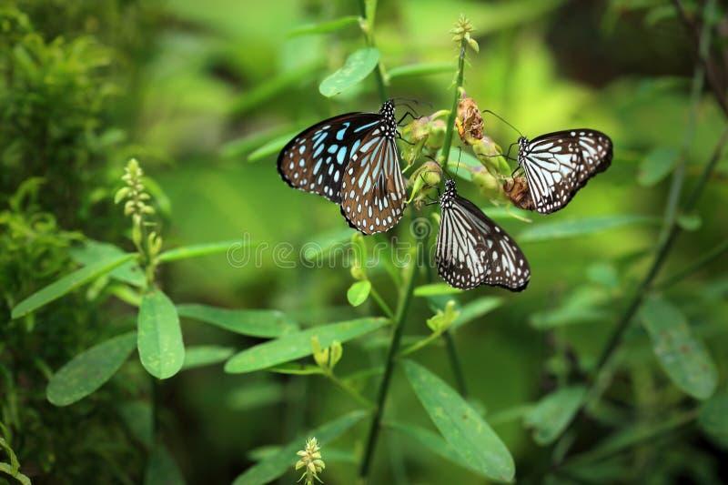 Trzy motyla siedzą na roślinie obraz royalty free