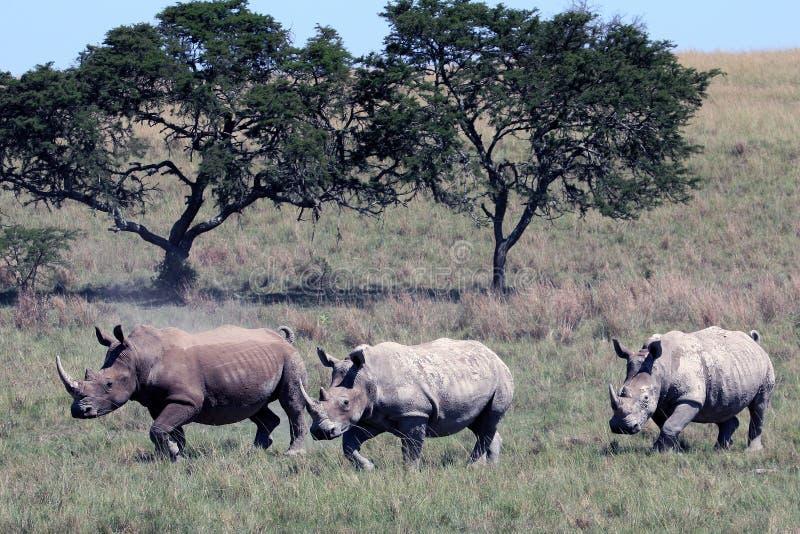 Trzy nosorożec biega przez Afrykańską sawannę, nosorożec, Kruger park narodowy obraz royalty free
