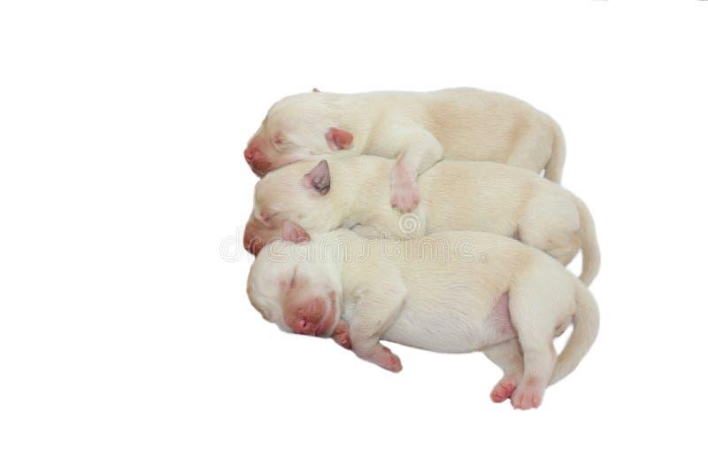 Trzy nowonarodzonego szczeniaka na białym tle zdjęcie royalty free