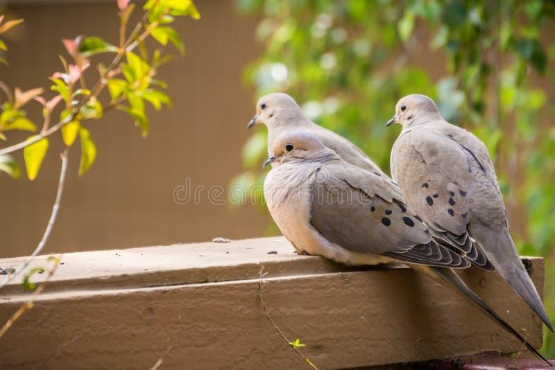 Trzy Opłakują gołąbki siedzi na balkonowym wypuscie, Kalifornia zdjęcie stock