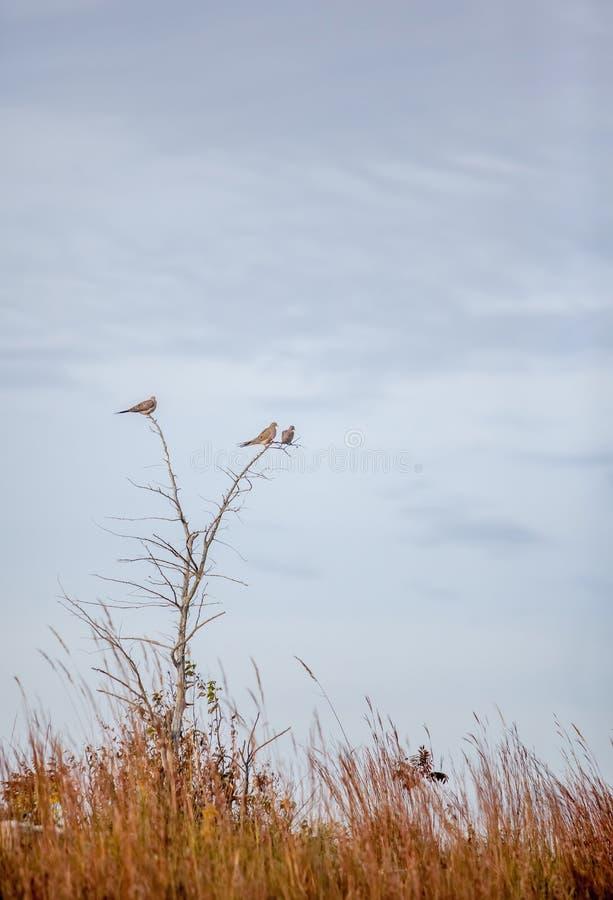 Trzy opłakują gołąbki w drzewie zdjęcie stock