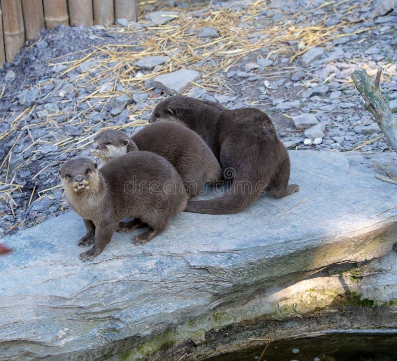 Trzy orientał Krótkiej Pazurzastej wydry obraz royalty free