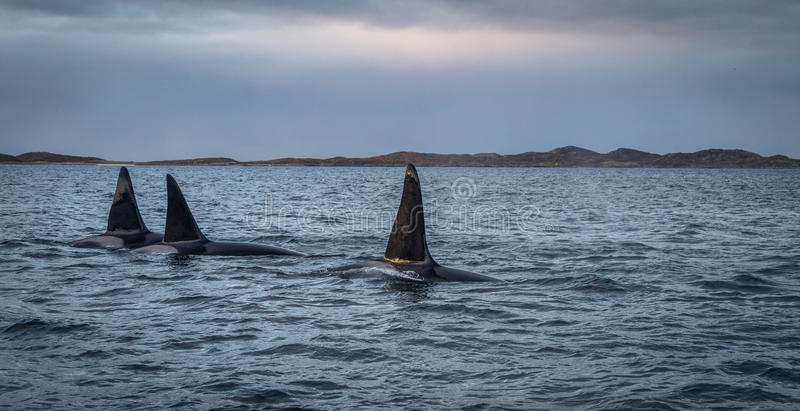 Trzy orka zabójcy wieloryba w górze kształtują teren Tromso Norwegia obraz stock
