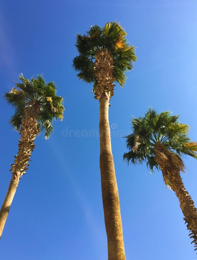 Trzy palmy obrazy stock