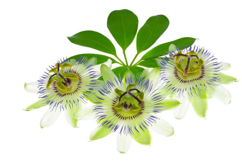 Trzy passionflower kwiat na liściu zdjęcia royalty free