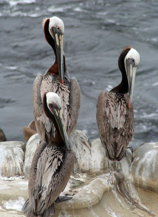 trzy pelikanów zdjęcia royalty free