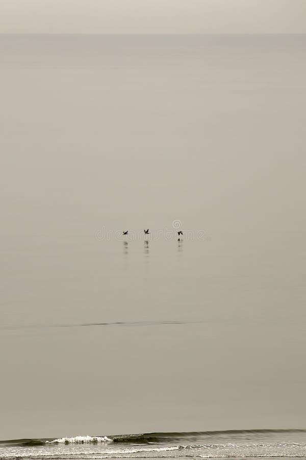 Trzy pelikana ono ślizga się nad spokojnymi wodami fotografia stock