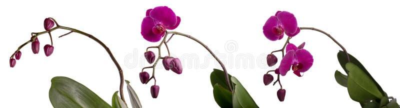 Trzy Phalaenopsis kwitnąca purpurowa orchidea z pączkami ilustracja wektor